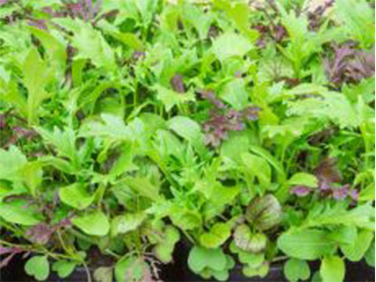 Asia Salat Pikantes Asia, Jungpflanzen