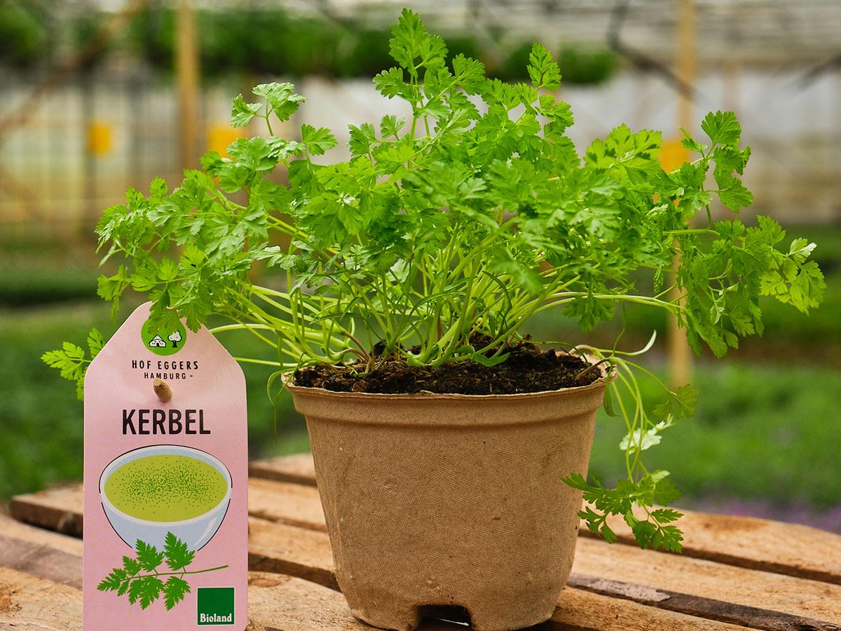 Kerbel_Bio_Kräuter