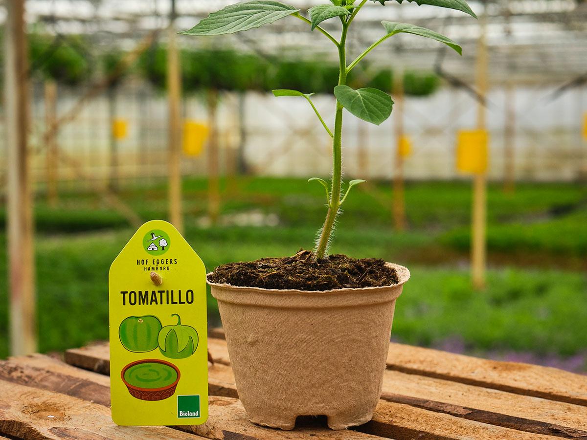 Tomatillo__bio_balkongemüse