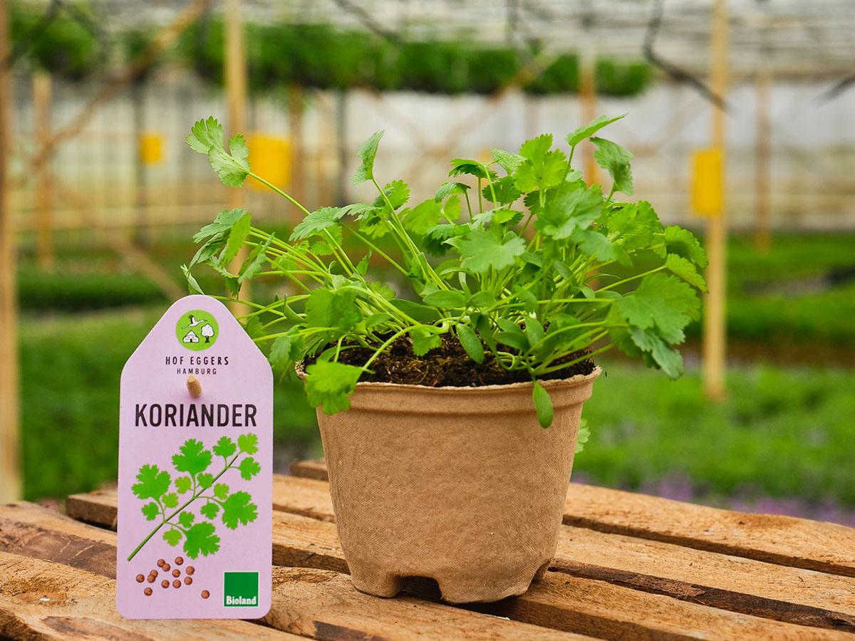 Koriander_Bio_Kräuter