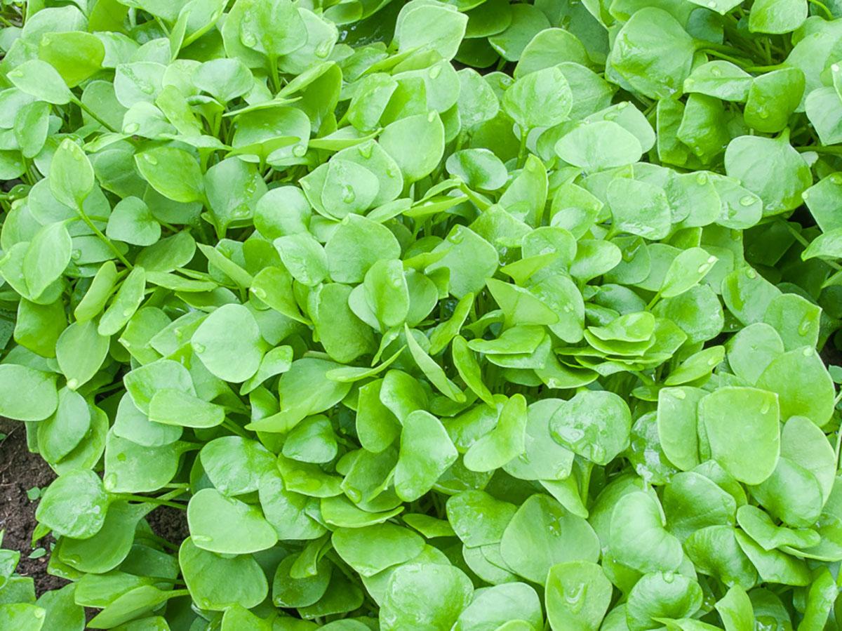 winterpostelein-jungpflanzen-online-kaufen-bio