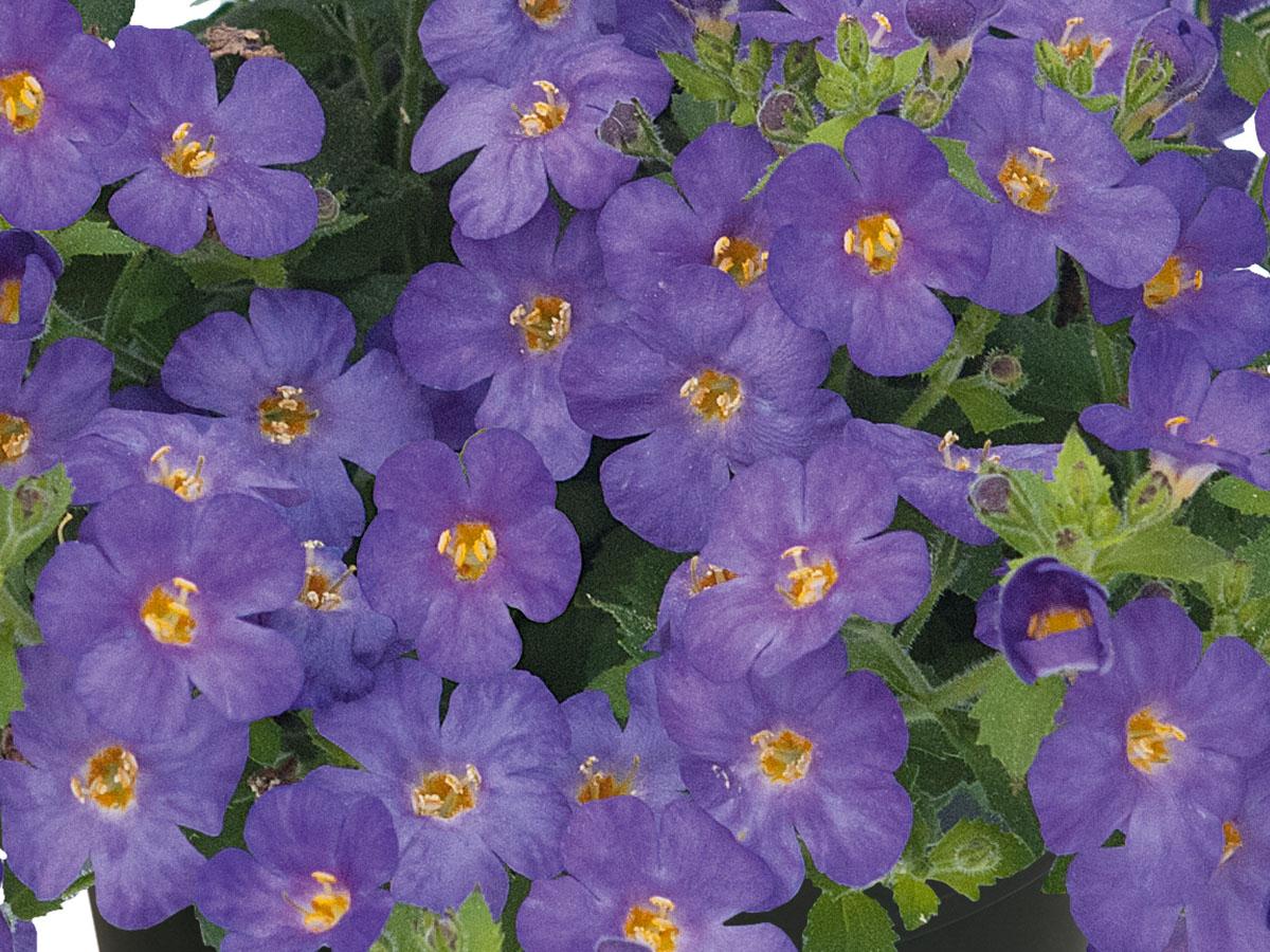Sutera-EVEREST-DarkBlue-Schneeflockenblume