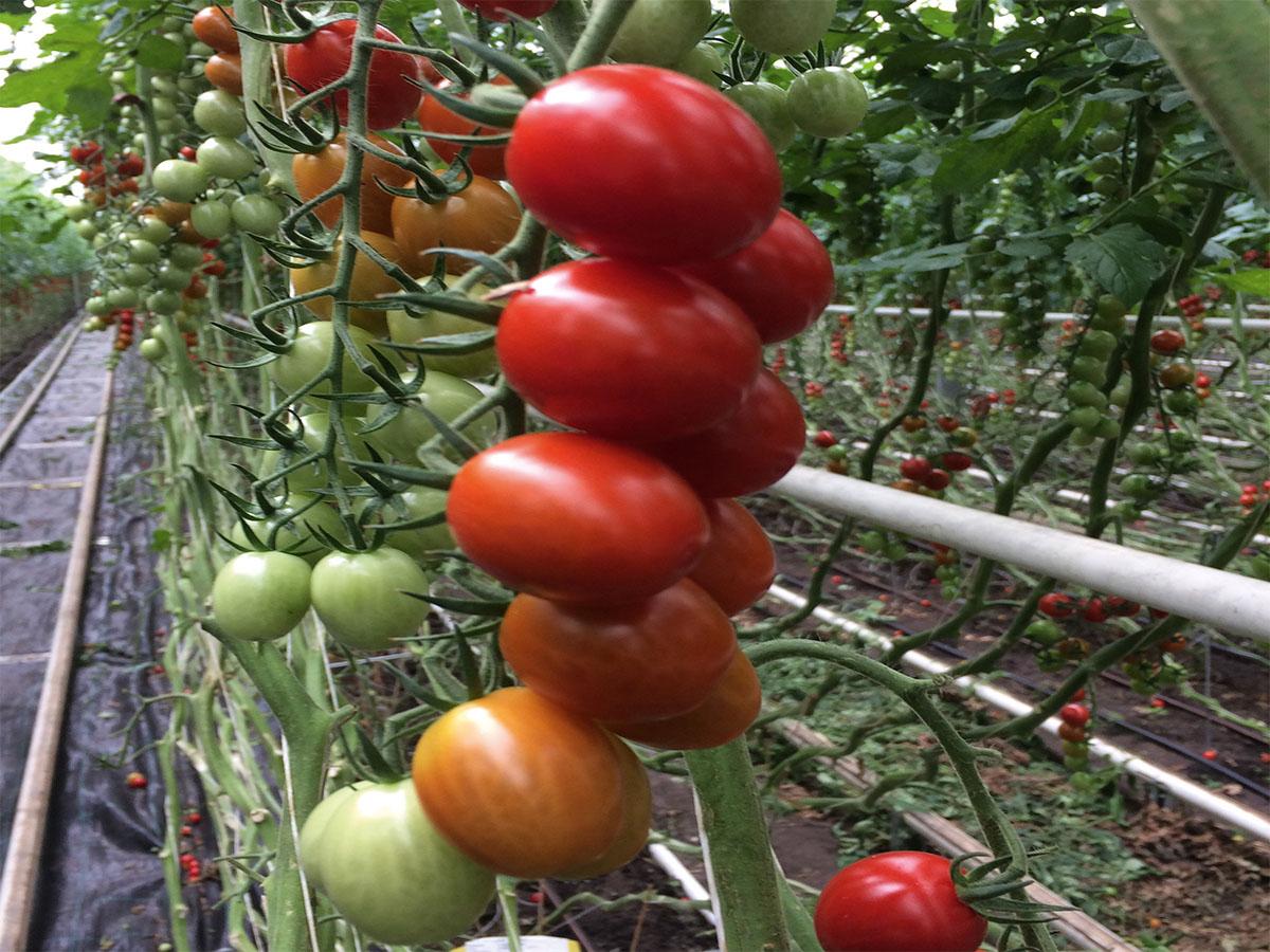 Tomate Baloe F1