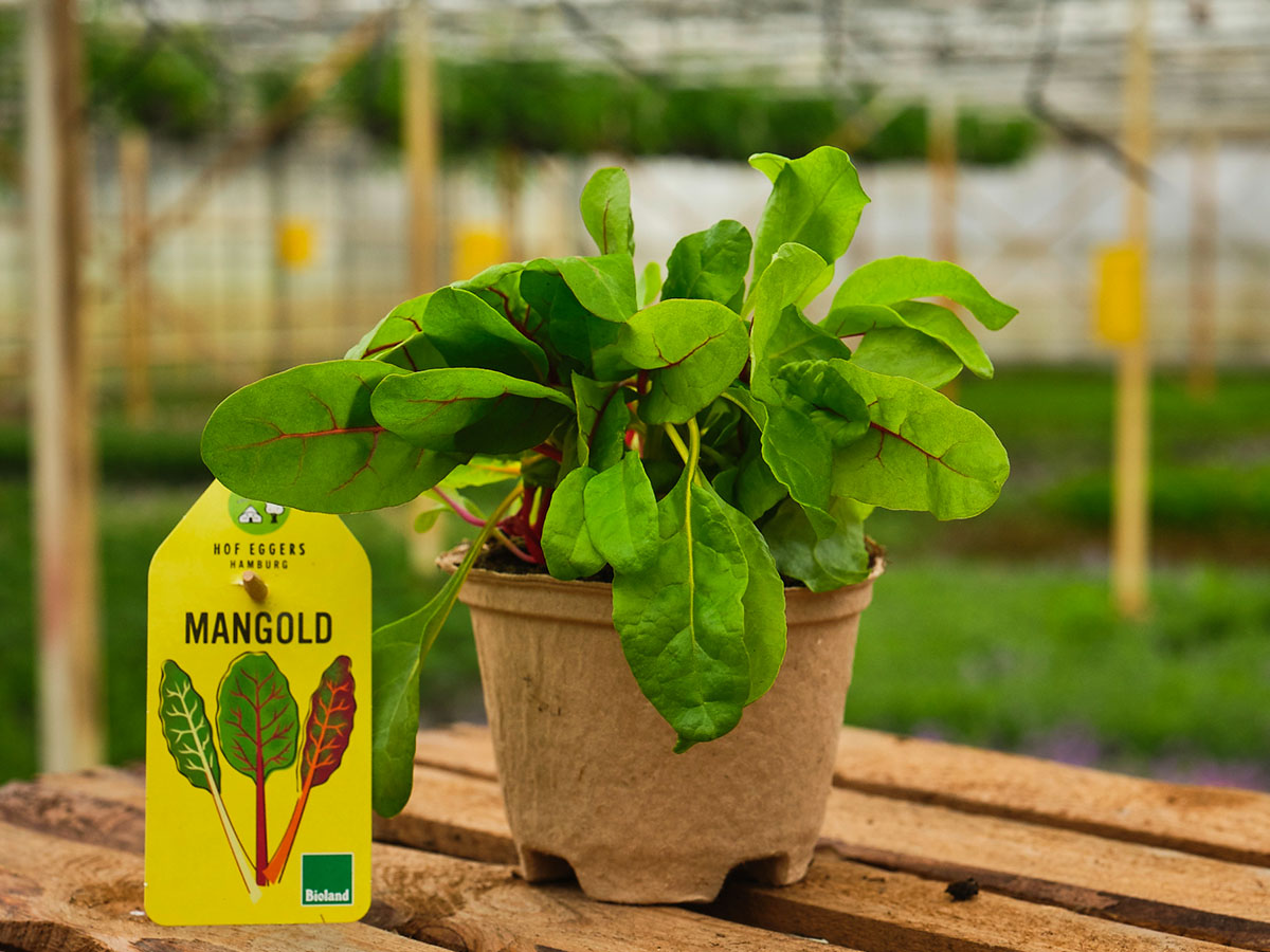 Mangold__bio_balkongemüse