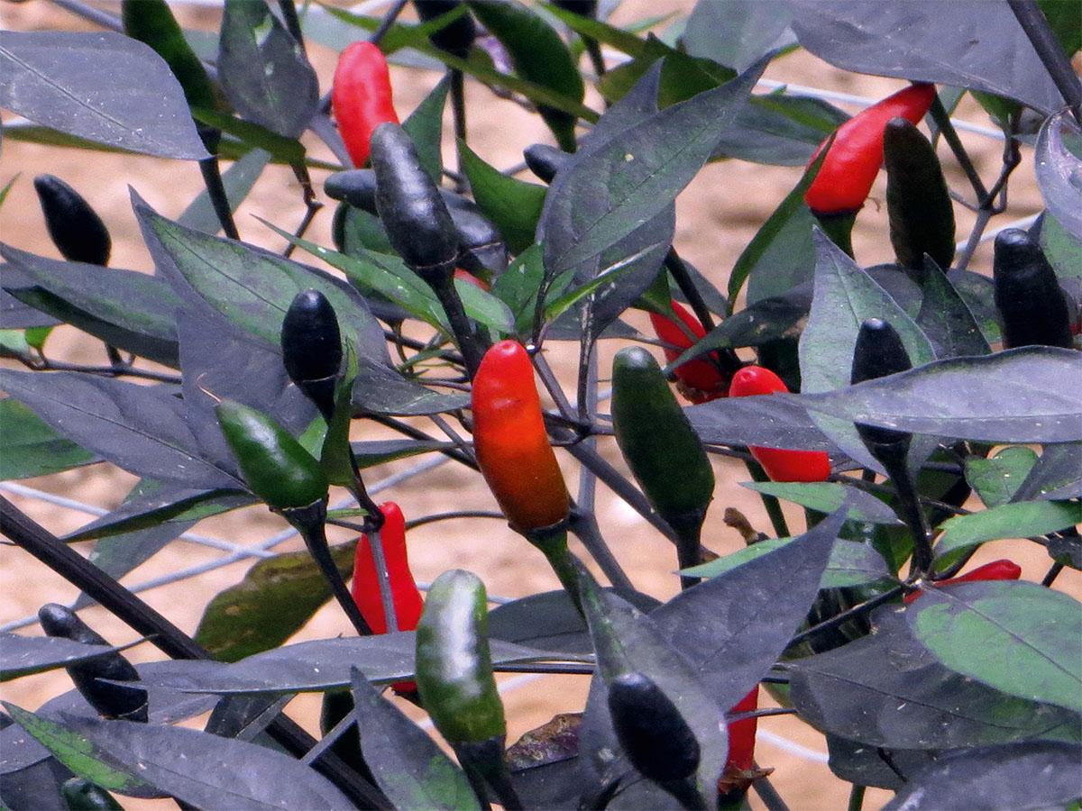 Chili Birds Eye