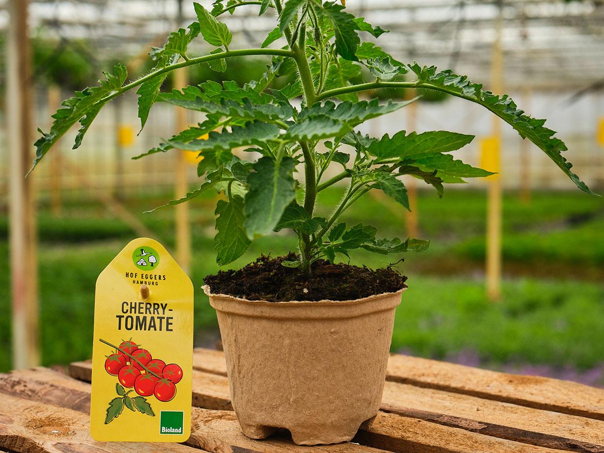 Cherrytomate_bio_gemüse_balkongemüse