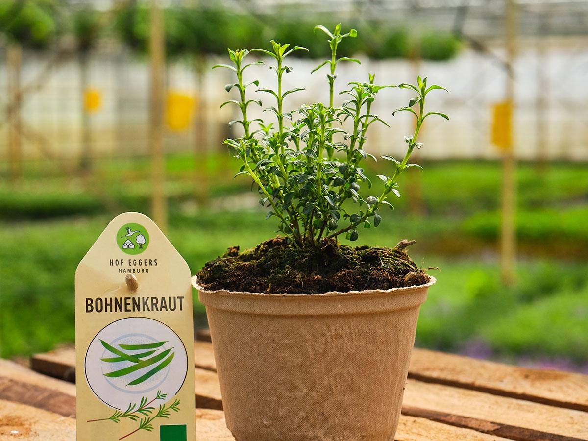 Bergbohnenkraut_Bohnenkraut_Bio_Kräuter