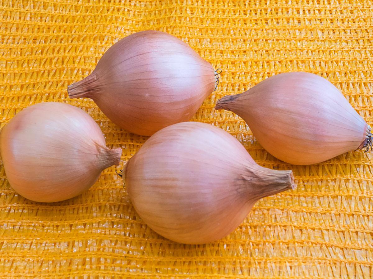 Zwiebel-gelb-prometa-jungpflanzen-online-bestellen