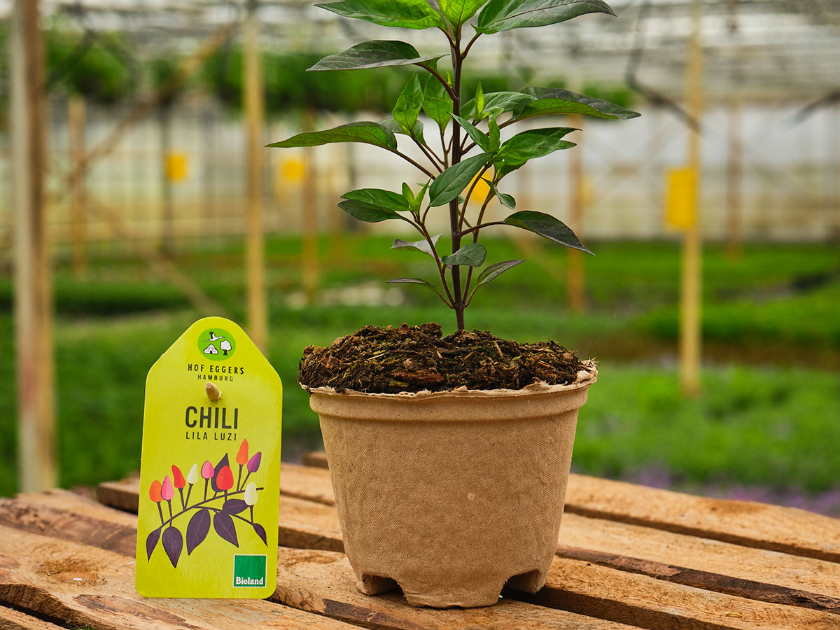 Chili_lila_luzi_bio_gemüse_balkongemüse