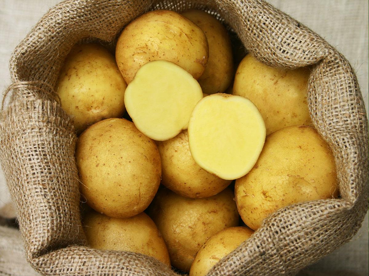 Adretta-Knolle-Kartoffel-bio-Pflanzkartoffel-hof-eggers