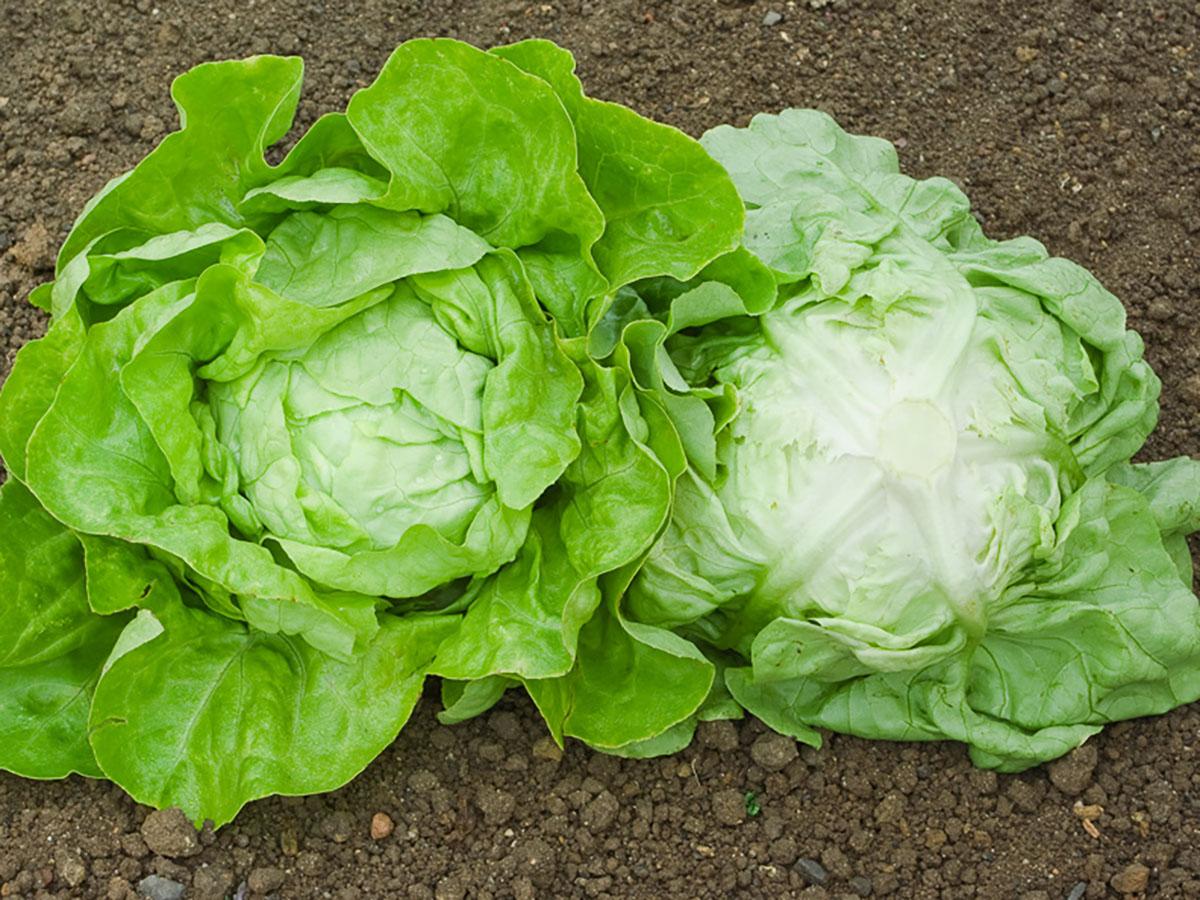 Kopfsalat-jungpflanzen-online-bestellen-bio