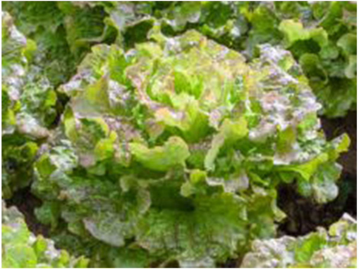 Salat Batavia grün, Jungpflanzen