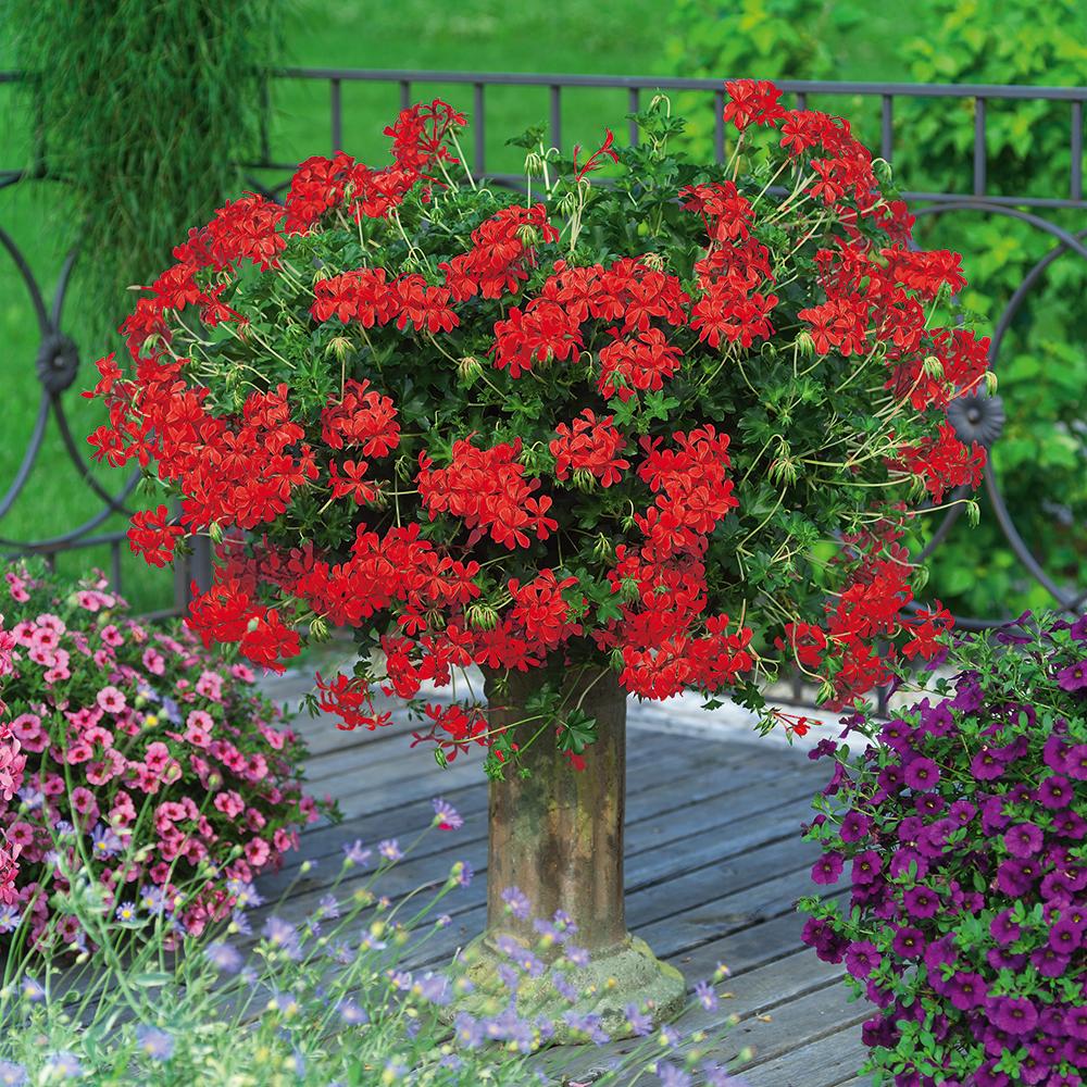 Hängegeranie Decora rot, Pelargonium peltatum