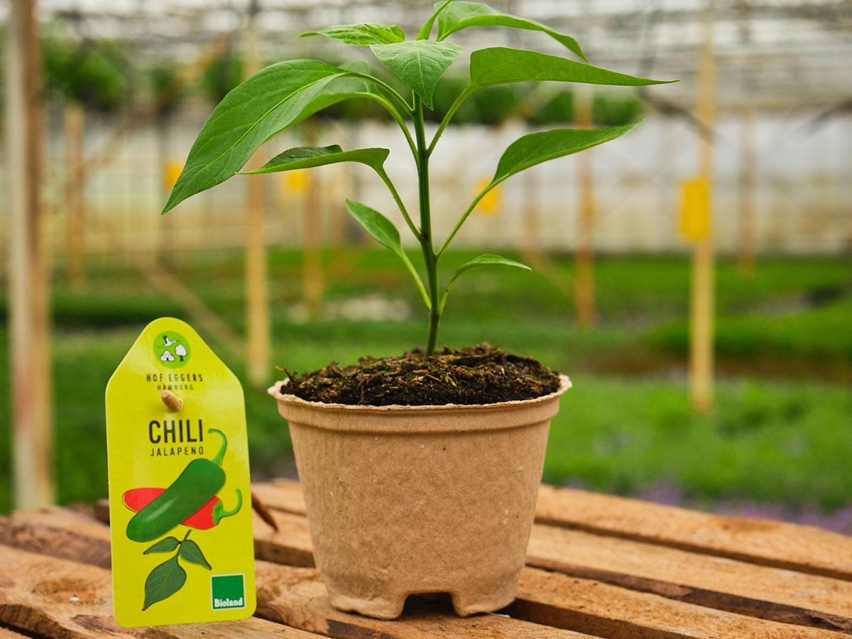 Chili_jalapeno_bio_gemüse_balkongemüse
