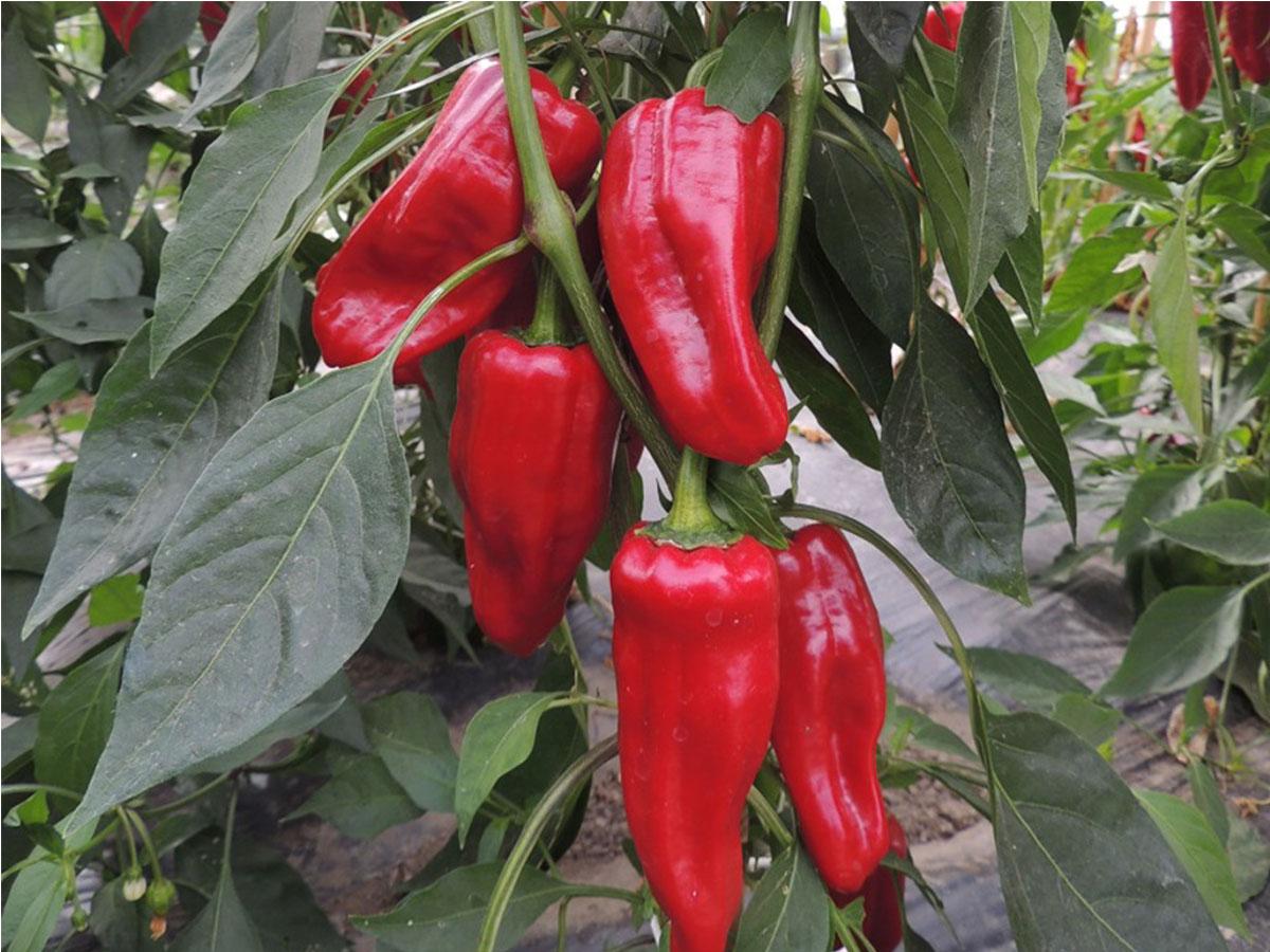 Chili Türkischer Paprika