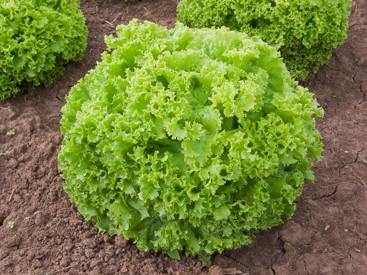Lollo-bionda-jungpflanzen-online-bestellen